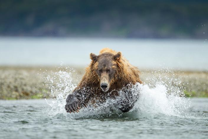 USA, Alaska, Katmai National Park, Coastal Brown Bear (Ursus arctos) leaping after salmon in spawning stream