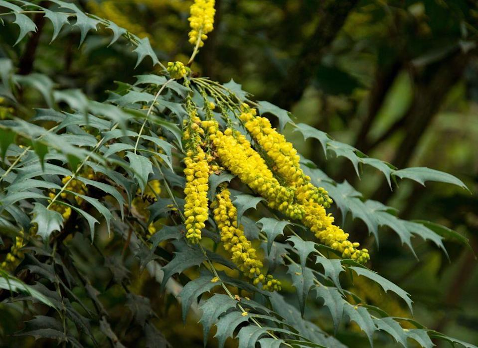 <p>This evergreen shrub boasts yellow flowers that bloom in late winter through early spring. They eventually turn to berries by late summer. Mahonia, which is native to Asia, Central and South America, and the Himalayas, is a low-maintenance shrub. <br></p><p><br><strong>Where to plant:</strong> Full to partial sun<br><strong>USDA Hardiness Zones:</strong> 7 to 9 </p>