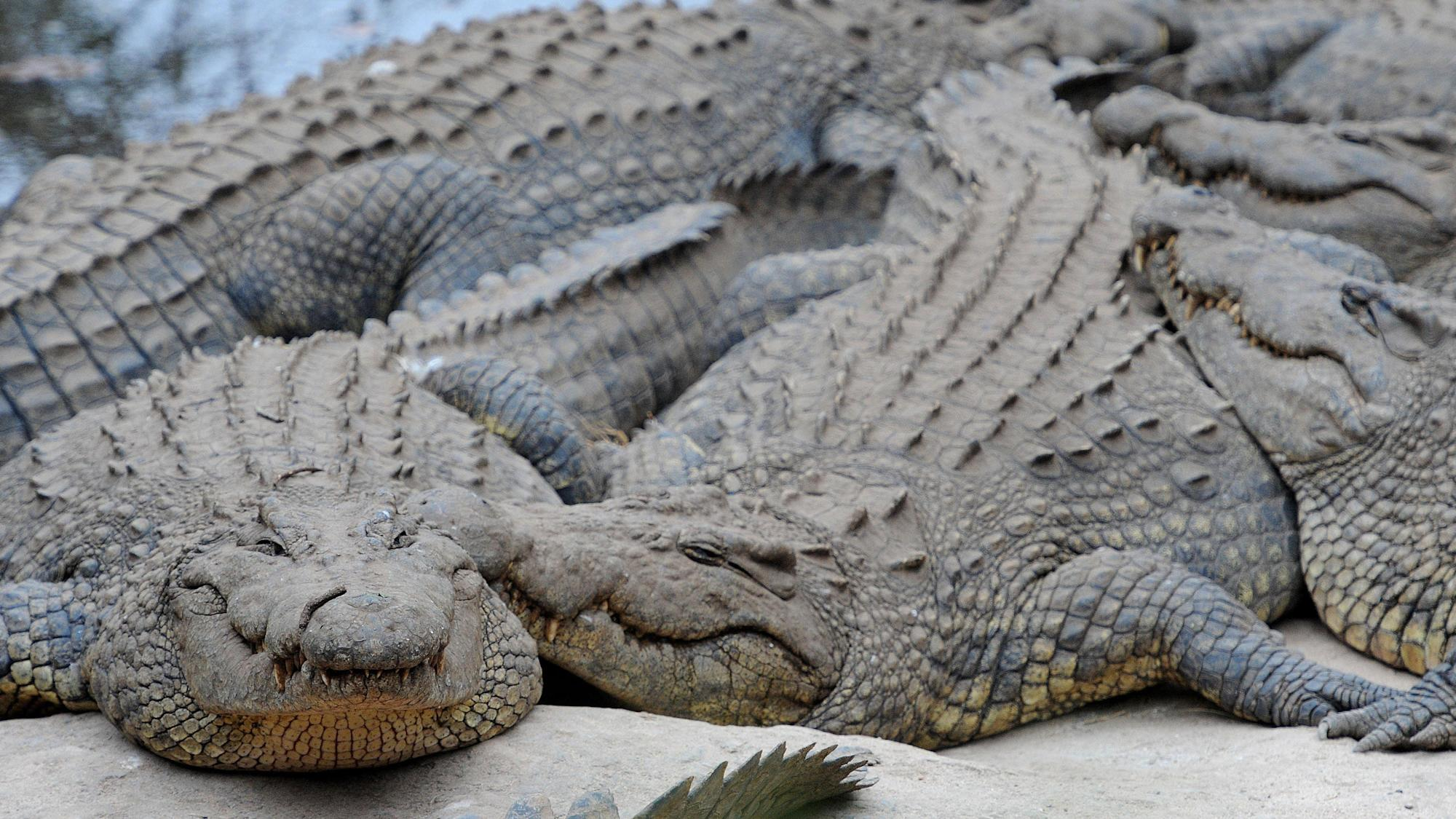 Snappy evolution was behind success of ancient crocodiles, research suggests