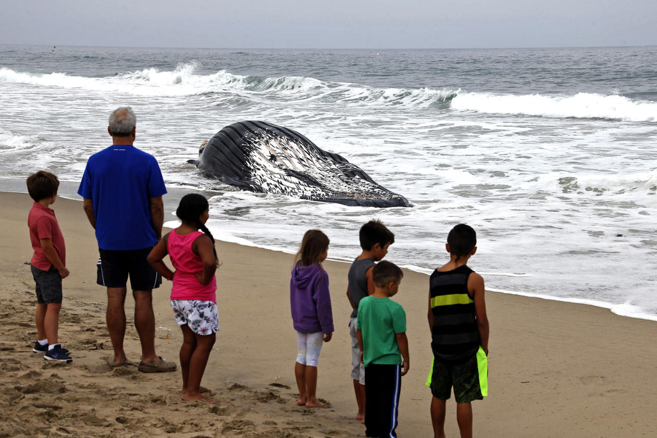 <p>People observe a dead humpback whale washed ashore at Dockweiler Beach in Los Angeles on Friday, July 1, 2016. The whale floated in Thursday evening. It is approximately 40 feet long and is believed to have been between 10 to 30 years old. Marine animal authorities will try to determine why the animal died. (AP Photo/Nick Ut) </p>