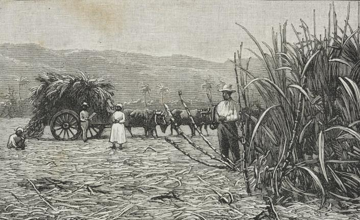 """<span class=""""caption"""">A printed illustration of sugar cane in Jamaica in the 1800s.</span> <span class=""""attribution""""><a class=""""link rapid-noclick-resp"""" href=""""https://www.gettyimages.com/detail/news-photo/cutting-the-sugar-canes-sugar-culture-in-jamaica-engraving-news-photo/932206586?adppopup=true"""" rel=""""nofollow noopener"""" target=""""_blank"""" data-ylk=""""slk:Biblioteca Ambrosiana/Getty Images"""">Biblioteca Ambrosiana/Getty Images</a></span>"""