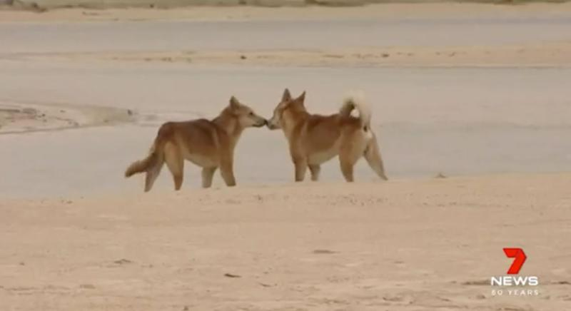 Boy, 6, airlifted to hospital after dingo attack
