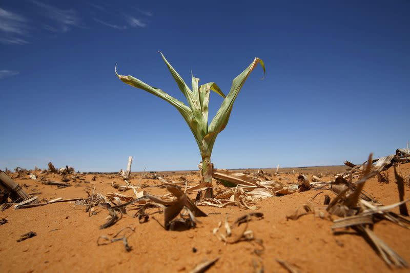 FILE PHOTO: A maize plant is seen among other dried maize at a field in Hoopstad, a maize-producing district in the Free State province