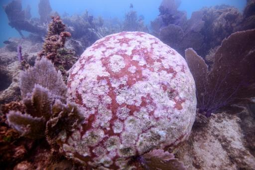 A coral off-Mexico's Quintana Roo State, affected by a disease known as white syndrome, which is different from coral bleaching, and more deadly
