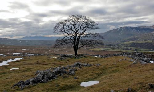Tree of the week: 'I'm always afraid someone will cut down this lonely sycamore. It's a relief just to see it'
