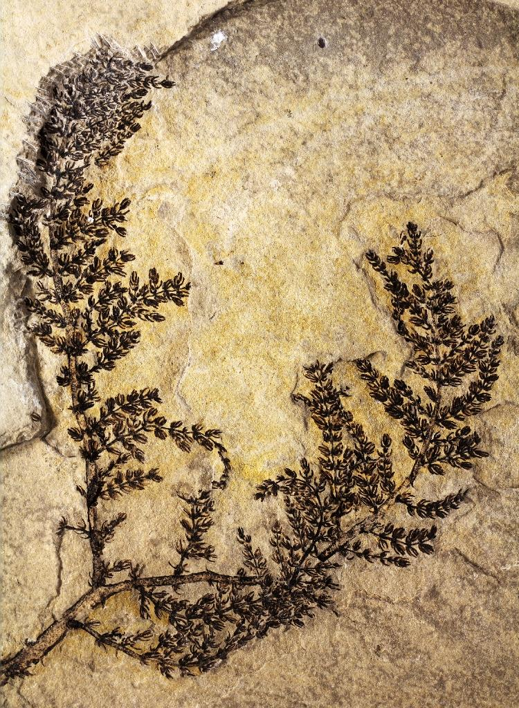 This image obtained August 17, 2015 shows what Indiana University paleobotanist David Dilcher and colleagues in Europe have identified as a 125 million- to 130 million-year-old freshwater plant
