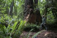 National Park Service Ranger Jeff Denny shows a massive 115 cubic feet cut off an old-growth redwood tree by poachers, near Orick, California June 3, 2014. Two men, Danny Garcia and Larry Morrow, pled guilty on May 27, 2014 to felony vandalism in the case, reported local media. Redwood burls are reproductive growths on the tree that can sprout clones and are highly sought after for their unique grain patterns popular in high end furniture and artwork. Recent poaching for redwood burls in the Redwood National Park and Northern California State Parks forced officials to close the Newton B. Drury Scenic Parkway, a ten mile drive through the old growth Redwood forest, after sunset, according to the National Park Service. Picture taken June 3, 2014. REUTERS/Nick Adams (UNITED STATES - Tags: ENVIRONMENT CRIME LAW)