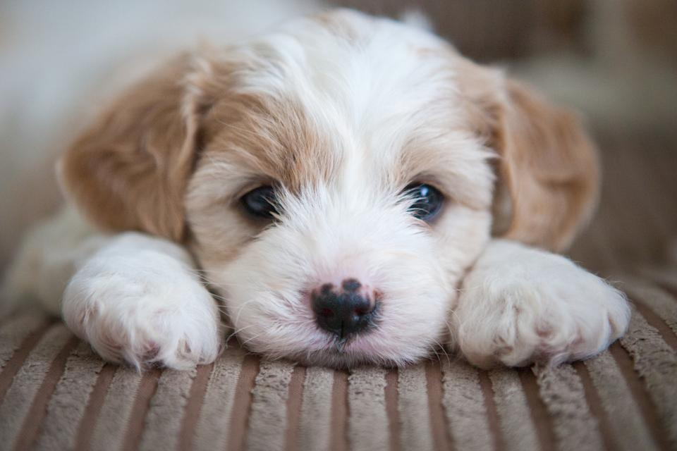 Cavashon puppy lying on a couch with its head between its paws.