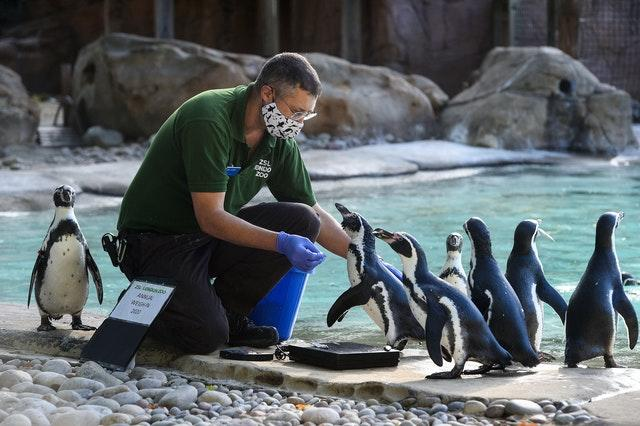 Keeper Martin Franklin weighs humboldt penguins during the annual weigh-in at ZSL London Zoo
