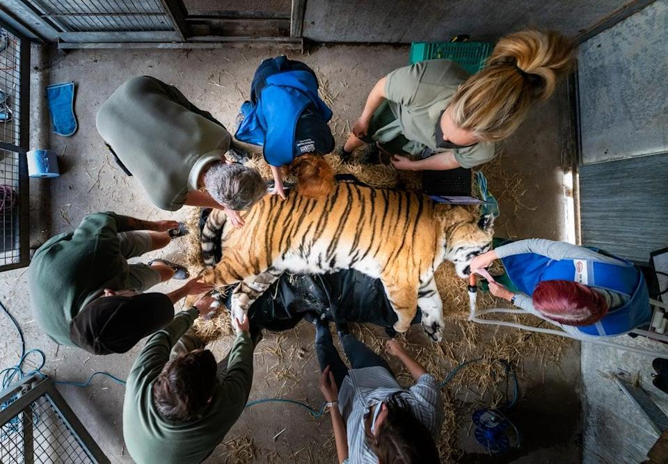 Vladimir, an Amur tiger, lies sedated during a procedure at Yorkshire Wildlife Park (Danny Lawson/PA) (PA Wire)