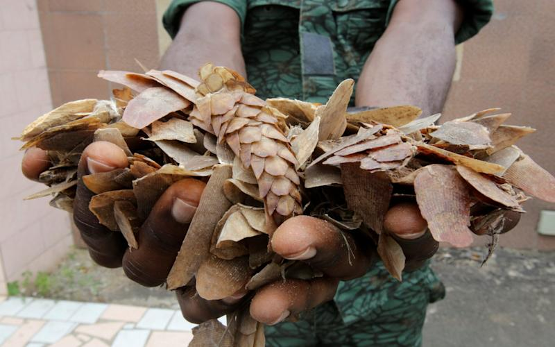 An Ivorian wildlife agent holds up confiscated pangolin scales - THIERRY GOUEGNON/REUTERS