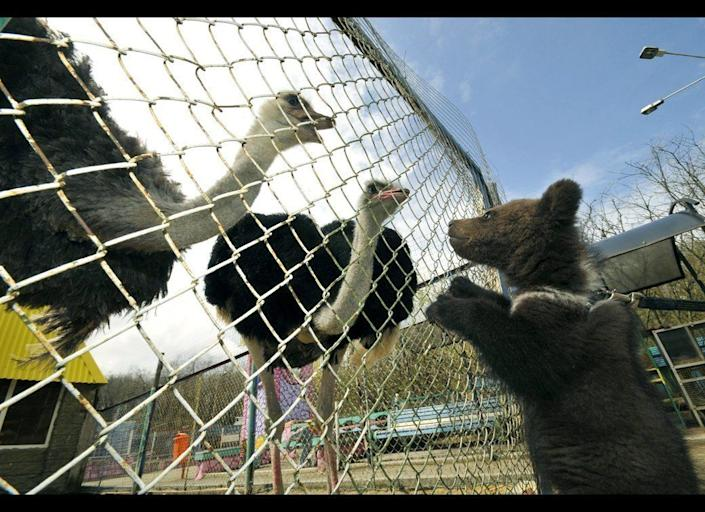 A three month old bear cub who was born at the zoo in Stavropol looks at ostriches on May 5, 2011.