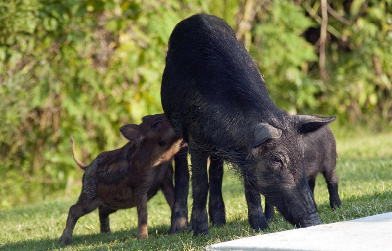 This undated photo provided by the U.S. Department of Agriculture Wildlife Services shows a family of pigs invading the Palmetto State Park's camp grounds in Abbeyville, La. The agency has teamed up with the state of New Mexico and others as part of a $1 million pilot project to eradicate the pigs from New Mexico. Nationally, federal officials say the feral pig population has ballooned to an estimated 5 million. (AP Photo/Richard Nowitz, U.S. Department of Agriculture Wildlife Services)