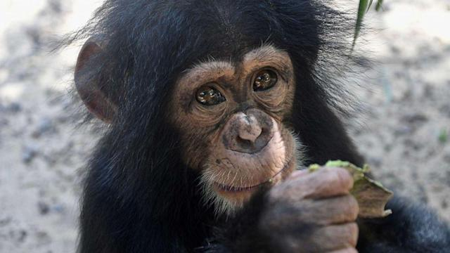 These baby chimps can't stop hugging their newest friend (ABC News)