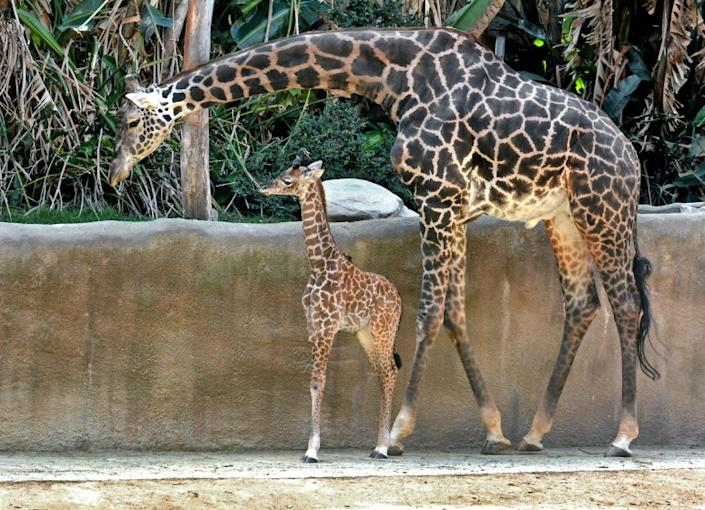 "Two giraffes roam the L.A. Zoo in October 2019. <span class=""copyright"">(Tad Motoyama / L.A. Zoo)</span>"