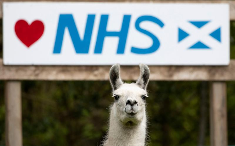 Bonnie the Llama grazes in front of a sign supporting the NHS. Scientists say llama antibodies could help in the fight against Covid-19 - Jane Barlow/PA Wire