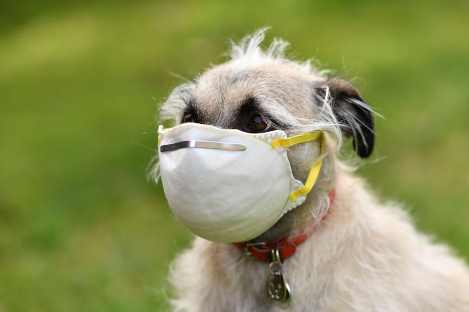 """An illustration photo shows Ziggie the dog wearing a mask put on her face by her owner in Los Angeles, on April 5, 2020. - After a tiger in the Bronx zoo tested positive for Covid-19 the zoo emphasized that there is """"no evidence that animals play a role in the transmission of COVID-19 to people other than the initial event in the Wuhan market, and no evidence that any person has been infected with COVID-19 in the US by animals, including by pet dogs or cats."""" (Photo by Chris DELMAS / AFP) (Photo by CHRIS DELMAS/AFP via Getty Images)"""