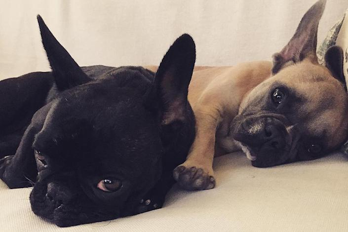 Lady Gaga's Dogs Were Stolen: See Photos of the Singer's French Bulldogs Asia, Koji and Gustav