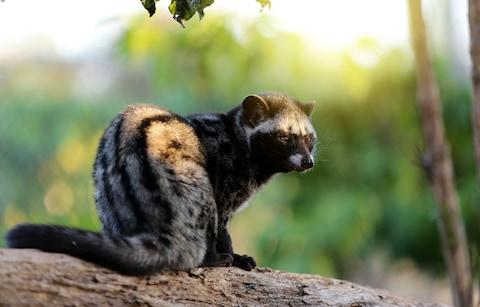 Civets are sold to coffee plantations - Credit: Getty