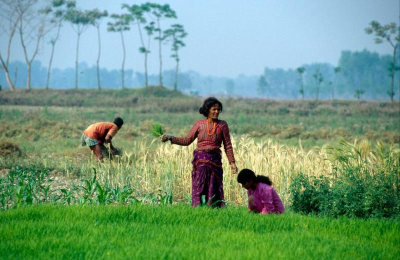 Women harvesting rice on the outskirts of Royal Chitwan National Park, Nepal.  © Michael Gunther/WWF-Cannon