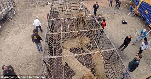 The lions were kept in tiny cages. Source: Animal Defenders International