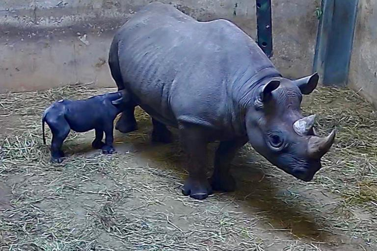 Endangered black rhino born at Chicago zoo