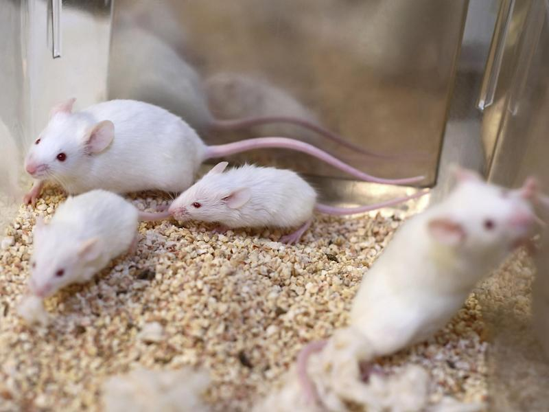 Pick of the squeak: some mice react to the news yesterday: Getty