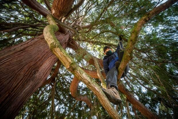 Ted Satake, 13, climbs an estimated 200-year-old cedar tree scheduled for removal to clear the way for a new development project in the City of North Vancouver, B.C. (Ben Nelms/CBC - image credit)