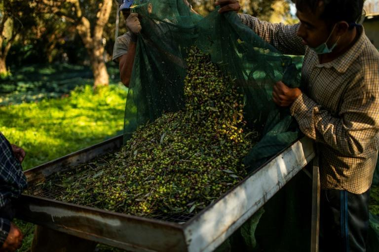 Greece produced around 275,000 tonnes of olives in 2019, bringing in 790 million euros ($957 million)