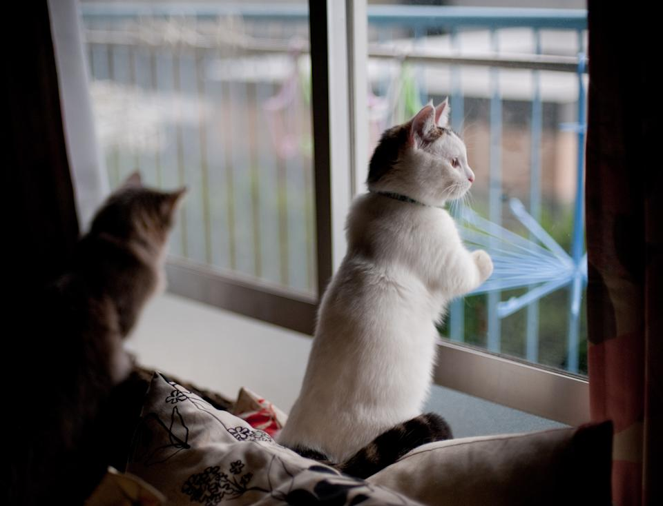 Tabby Munchkin male kitten standing by window while looking outside. There also another Munchkin cat in background.