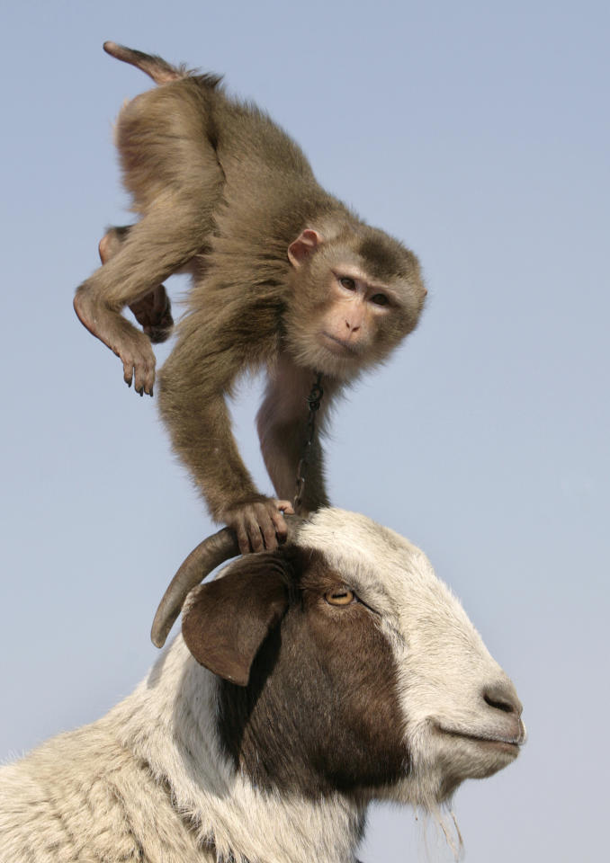 A monkey does a handstand on the head of a sheep during a performance at a temple fair held to celebrate the upcoming Chinese New Year.
