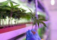 The North Macedonian government is weighing legalising marijuana, in what would be a European first