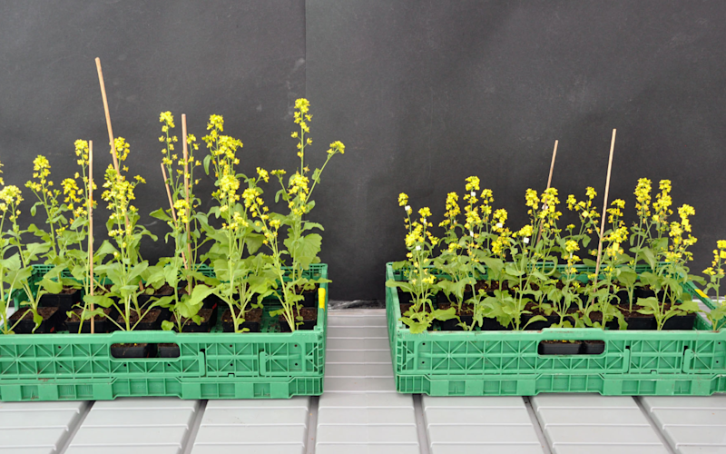 The bee pollinated plants (shown on the left) had double the fragrance - Credit: University of Zurich