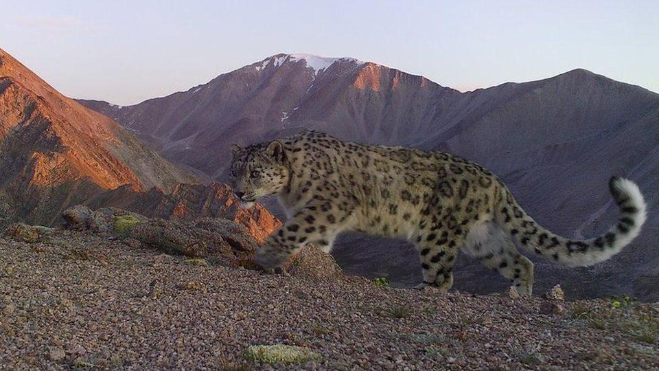 An adult snow leopard walking on the mountains of Khovd province in Mongolia