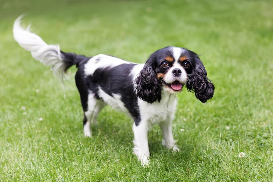 "<p>Their floppy ears will get you every time. The <a href=""https://www.dailypaws.com/dogs-puppies/dog-breeds/cavalier-king-charles-spaniel"" rel=""nofollow noopener"" target=""_blank"" data-ylk=""slk:Cavalier King Charles Spaniel"" class=""link rapid-noclick-resp"">Cavalier King Charles Spaniel</a> is known for being a breed of gentle pups that have plenty of affection to give their caregivers. Their fur is moderate length and silky.</p>"