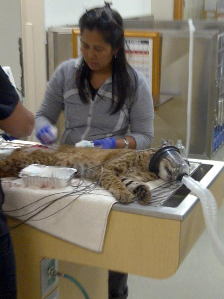 This photo provided by Pilchuck Veterinary Hospital shows, a bobcat is treated at the Pilchuck Veterinary Hospital in Monroe, Wash. The bobcat wandered onto the grounds of Washington state's largest prison and climbed onto a roof, where it was shot with a tranquilizer gun Tuesday, July 17, 2012, officials said. The animal was being treated for cuts it apparently suffered from some razor-wire fencing at the Monroe Correctional Complex, about 30 miles northeast of Seattle, prison spokeswoman Susan Biller said. It will be released back into the wild. (AP Photo/Pilchuck Veterinary Hospital)