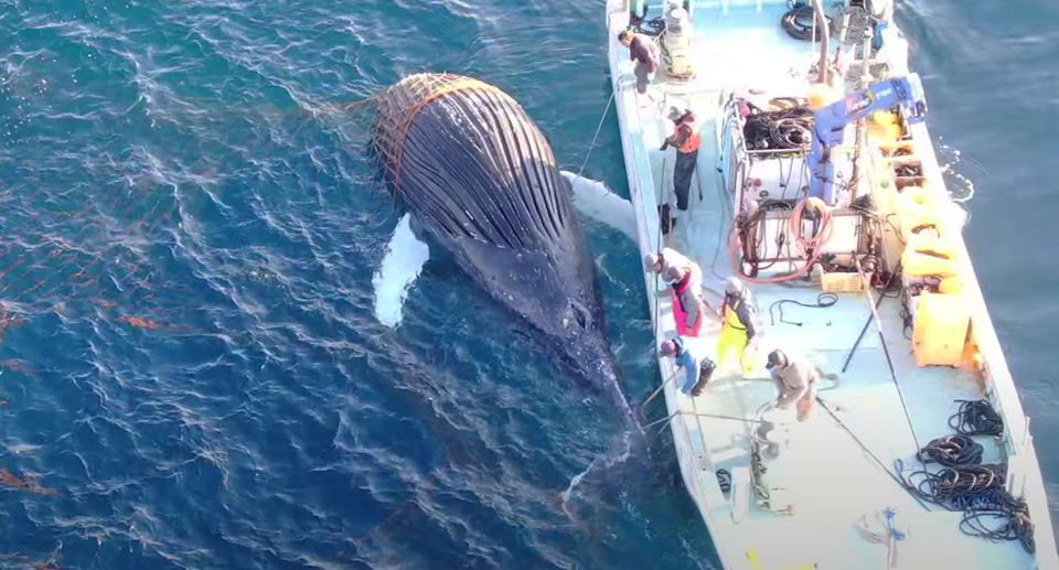 A third whale has become trapped in a cluster of Japanese fishing nets. Source: LIA / Dolphin Project