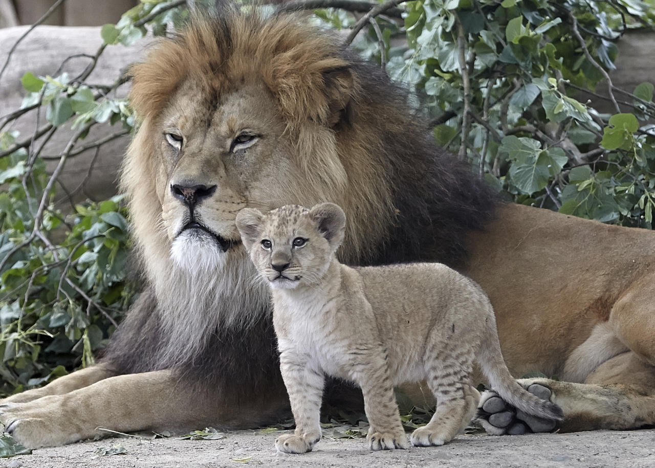 <p>A Barbary lion cub stands next to its father at the zoo in Neuwied, Germany, June 26, 2017. (Photo: Thomas Frey/AP) </p>