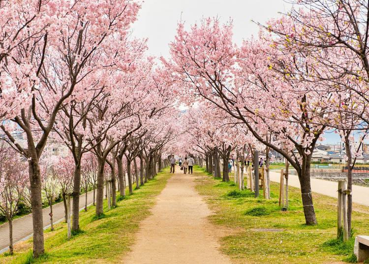 During the Sakura Festival, you can enjoy the cherry blossoms by night when those on the north bank are lit up