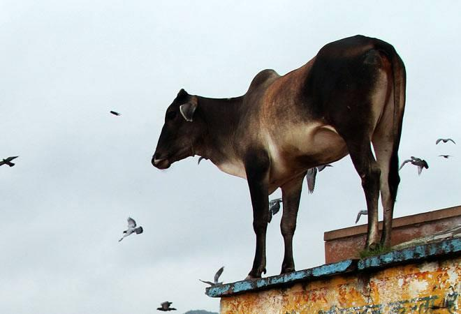 'Aadhar cards for cows': Indian government wants to protect each cow and its progeny