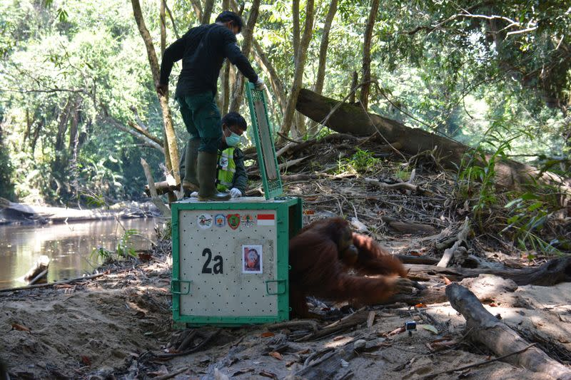Orangutan released into the Borneo island