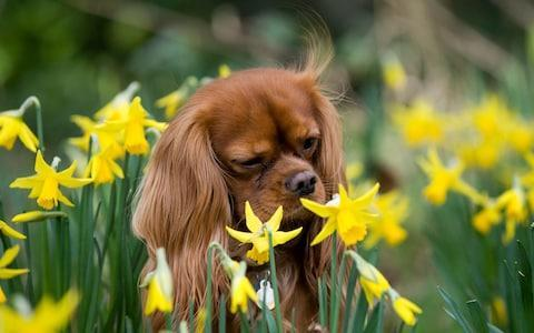 <span>A king charles cavalier spaniel plays in a daffodil patch as the first signs of spring appear in West Sussex </span> <span>Credit: Christopher Pledger/Christopher Pledger </span>
