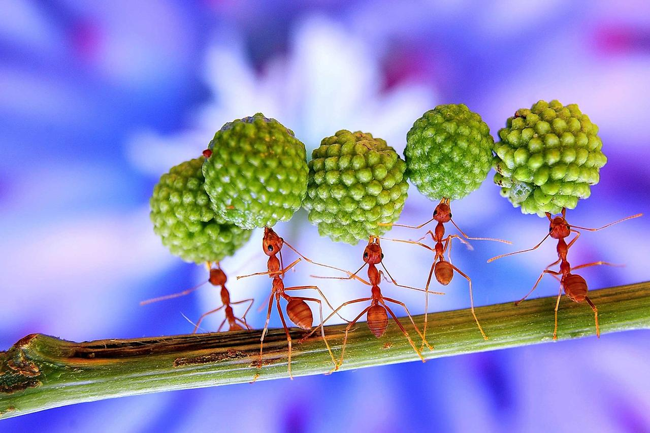 Buggy hell! These ants look like they need a change of career from worker ants to circus ants as they perform a series of daredevil tricks. The incredible stunts range from balancing giant seed pods from a Mimosa tree above their heads to dramatically clinging on to each other in diamond formation on a tiny plant. And in an amazing show of strength they even move into different gravity-defying shapes as they carry their food back to the nest for the rest of their hungry ant pals to fill up on. The stunning snaps were taken by keen photographer Eko Adiyanto, 40, who used a special macro technique to get up close and personal with the fascinating creatures (Caters)