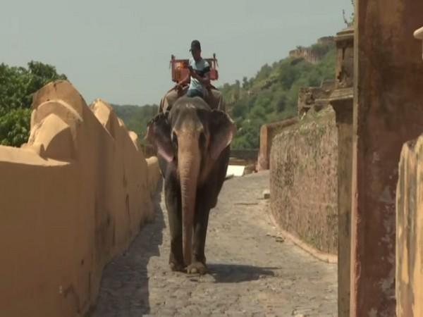The Elephant ride business has faced a lot of losses due to Covid in Jaipur. (Photos/ANI)
