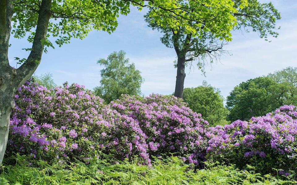 Root it out: Rhododendron ponticum has taken over large swathes of the countryside - GAP Photos / Geoff du Feu