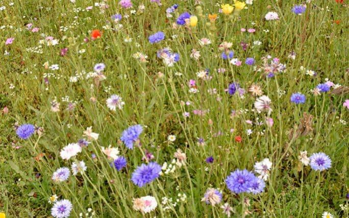 An example of a sown wildflower verge featuring foreign cornflower and poppy varieties