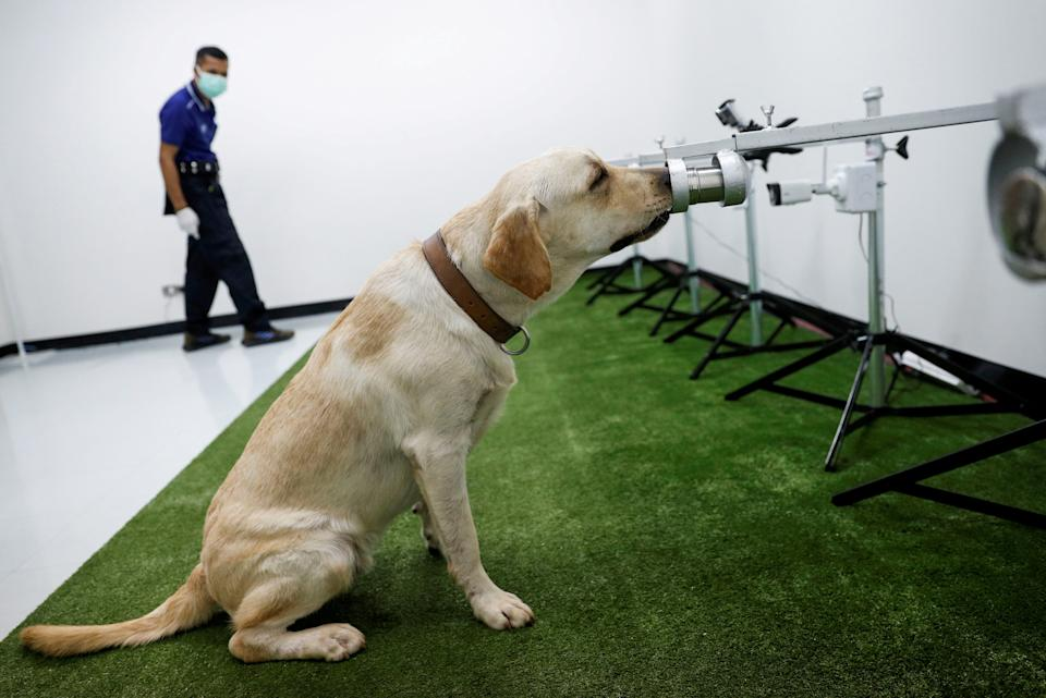 A dog that has been trained to sniff out the coronavirus disease (COVID-19), screens a sweat sample at Chulalongkorn University, in Bangkok, Thailand May 21, 2021. REUTERS/Jorge Silva     TPX IMAGES OF THE DAY