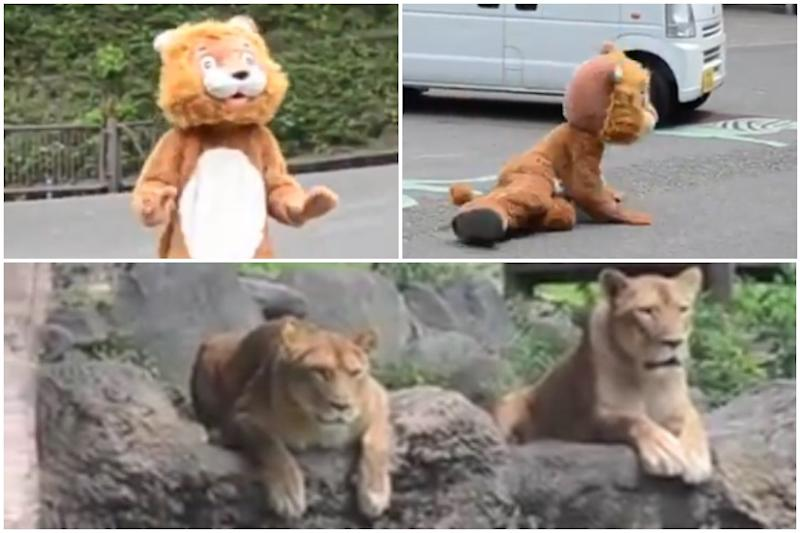 Japan Zoo's Escape Drill With Man in Lion Costume Goes Viral  While Real Big Cats Take Notes