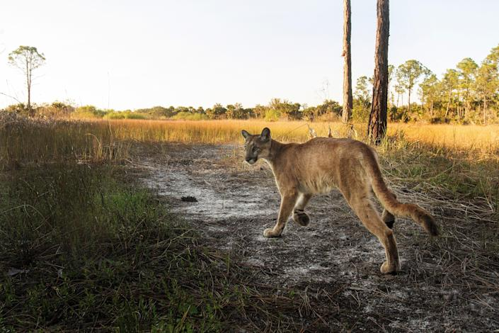 A Florida panther strolls past a camera trap set up at the Corkscrew Regional Ecosystem Watershed on Jan. 15, 2019.