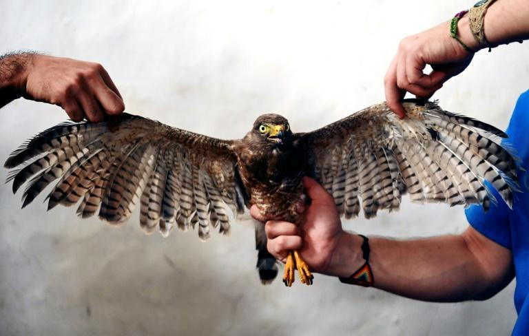 Veterinarians working for El Salvador's environment ministry hold a Roadside Hawk (Rupornis magnirostris) after performing a feather transplant to enable it to fly again
